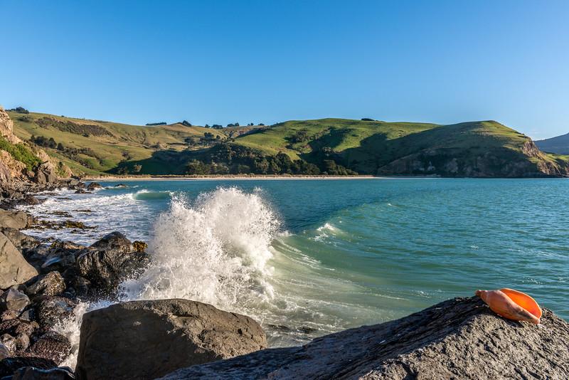 Arabic volute (Alcithoe arabica). Murdering Beach / Whareakeake, Dunedin