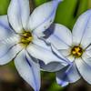 Spring star flower (Ipheion uniflorum). Second Beach, St Clair, Dunedin