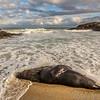 New Zealand sea lion / whakahao (Phocarctos hookeri). East of Chrystalls Beach