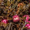Prostrate snowberry (Gaultheria macrostigma). Lammermoor Range, Otago
