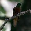 Hummingbird.  <br /> <br /> Sanctuary Lodge.  Machu Picchu, Cusco Region, Urubamba Province, Peru.