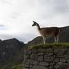 A llama at sunrise in the citadel's Upper Agricultural Section. <br /> <br /> Machu Picchu, Cusco Region, Urubamba Province, Peru.
