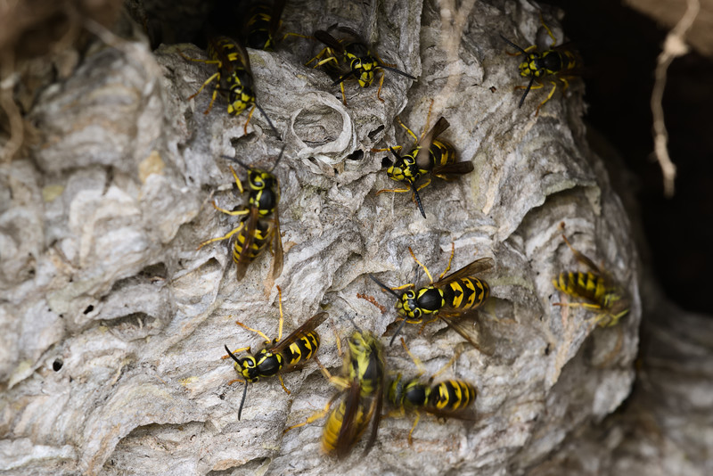 In ground wasp nest with queen doing a walk through.