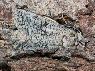 Aspen Carpetworm Moth