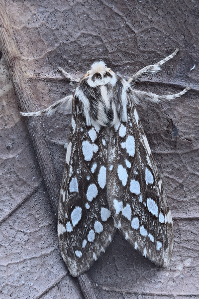 Silver-spotted Tiger Moth