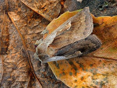 Cattail Borer Moth