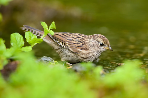 Juveniile White Crowned Sparrow