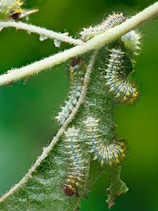 Antheraea polyphemus Moth Caterpillars