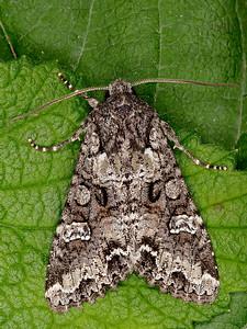 Glassy Cutworm Moth