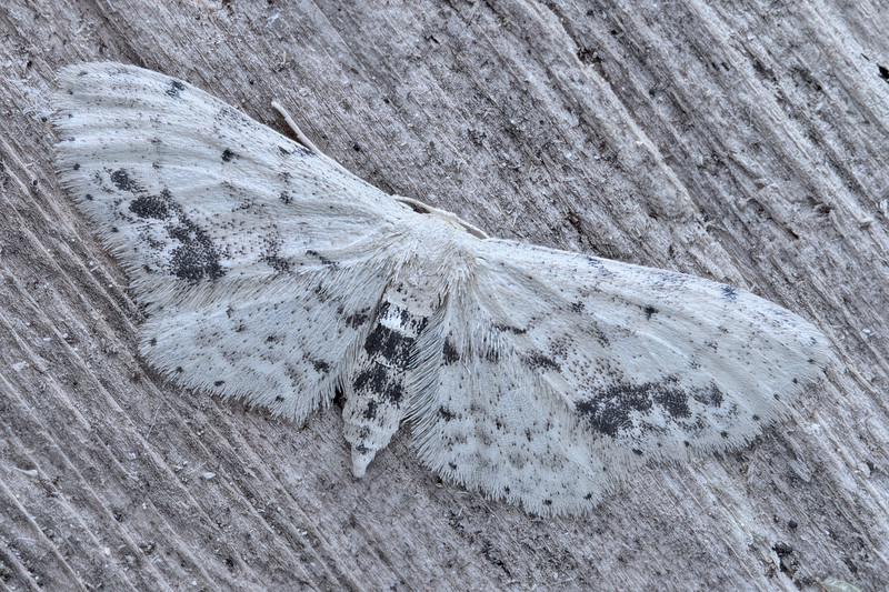 Single-dotted Wave Moth