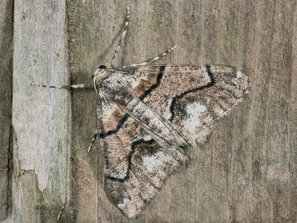 Gabriola dyari moth