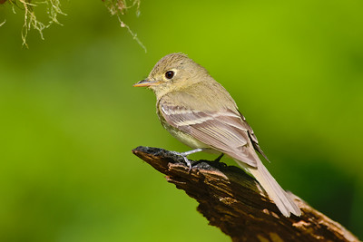 Pacific Sloope Flycatcher