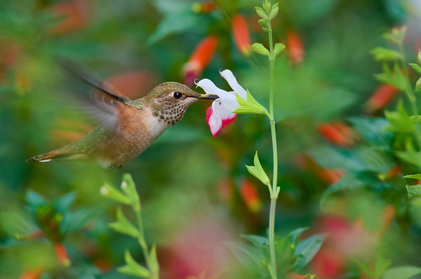 Juvenile Rufus Hummingbird