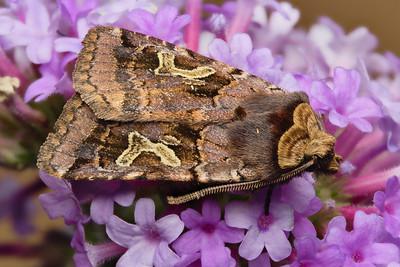 Enigmatic Dart Moth