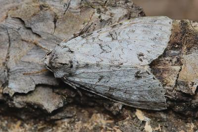 Piney Moth, Polia piniae-July-04-19 11~10~24 PM