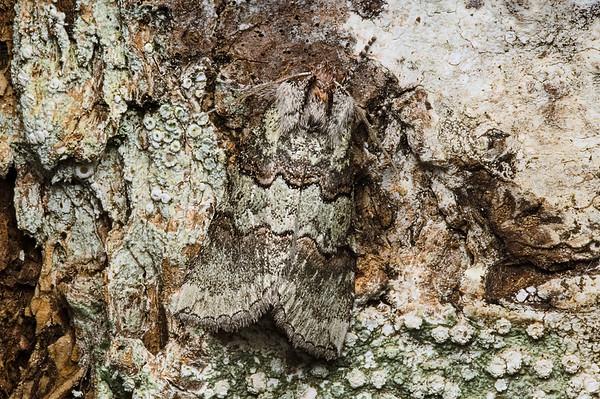 Ceranemota fasciata Moth