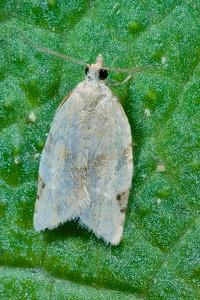 Argyrotaenia dorsalana Moth
