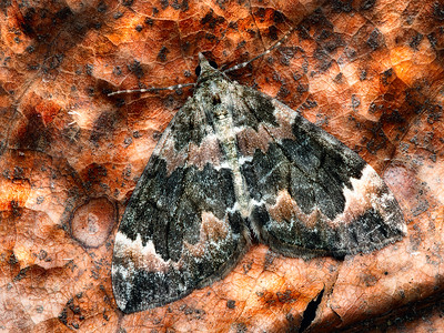 Dark-marbled Carpet Moth