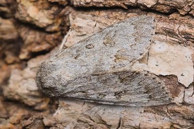 Fingered Dagger Moth, Acronicta dactylina