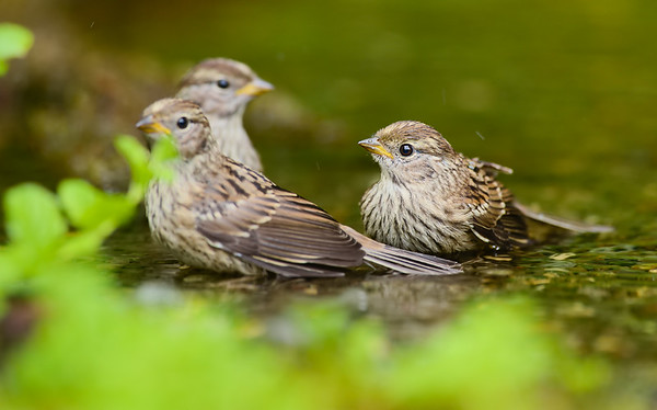 Juvenile White Crowned Sparrow's