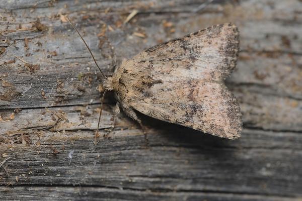 Cutworm moth- Homorthodes hanhami-July-04-19 11~16~28 PM