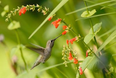 Anna's Hummingbird and Salvia subrotunda