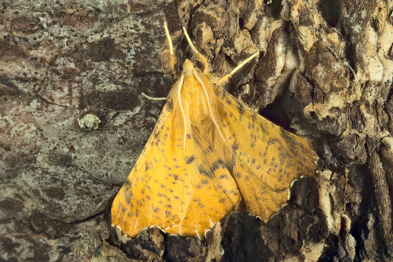 Maple Spanworm Moth