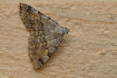 moth-