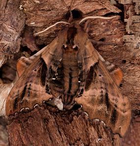 Blind Eyed-sphinx Moth