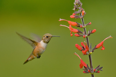 Juveile male Rufous feeding on Salvia exserta