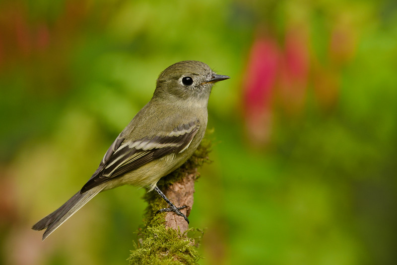 Hammond's  Flycatcher