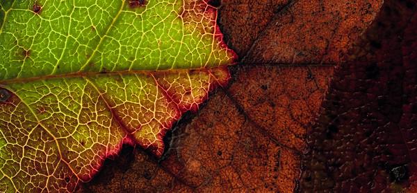 salal Leaves