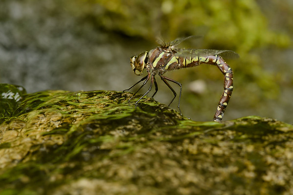 Paddle-tailed Darner Dragonfly