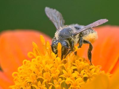 Leaf-cutter Bee