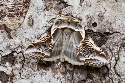 Lettered Habrosyne Moth