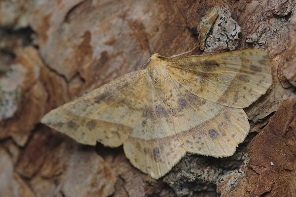 Mottled Euchlaena Moth- Euchlaena tigrinaria-July-04-19 10~48~24 PM
