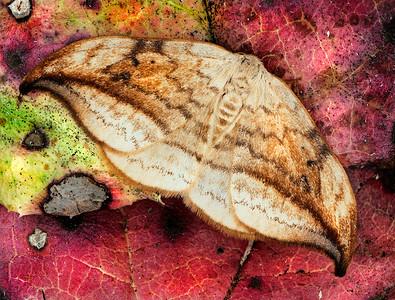 Arched Hooktip Moth