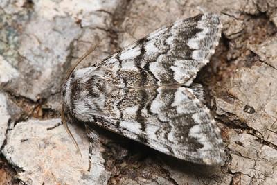 Cascades Panthea Moth, Panthea virginarius-July-30-19 10~36~58 PM