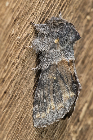 Banded Pebble Moth