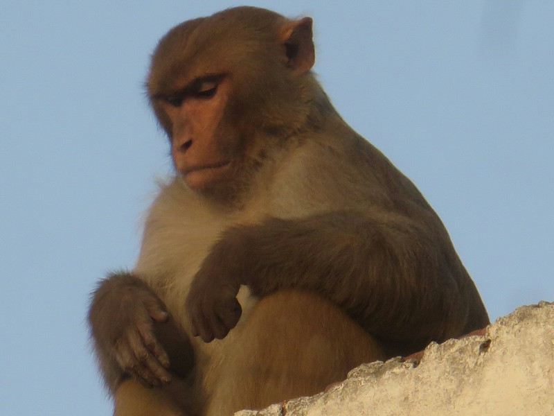 monkey on roof top of my hotel