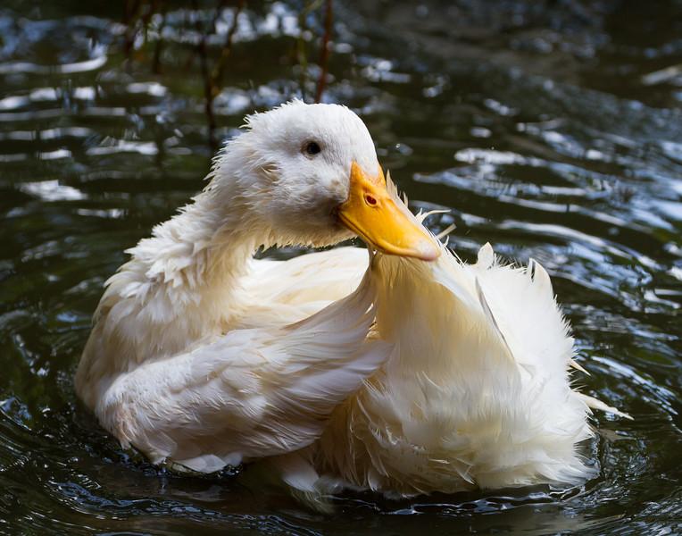 Duck Bath - 1, Kerala, India.