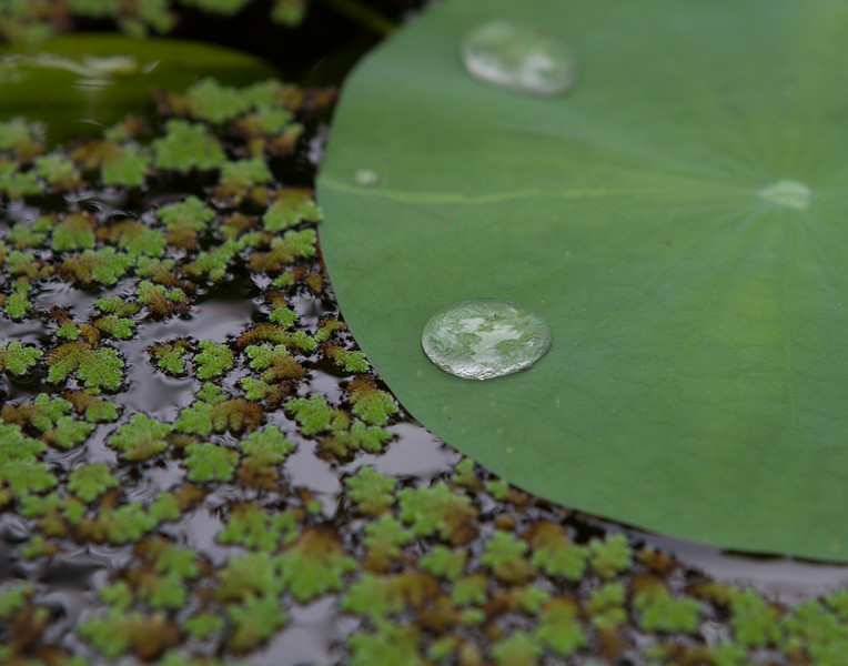 Lily Drops. Kerala, India.