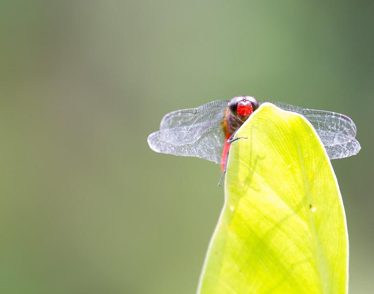 Dragonfly Sneak Peek. Kerala, India.