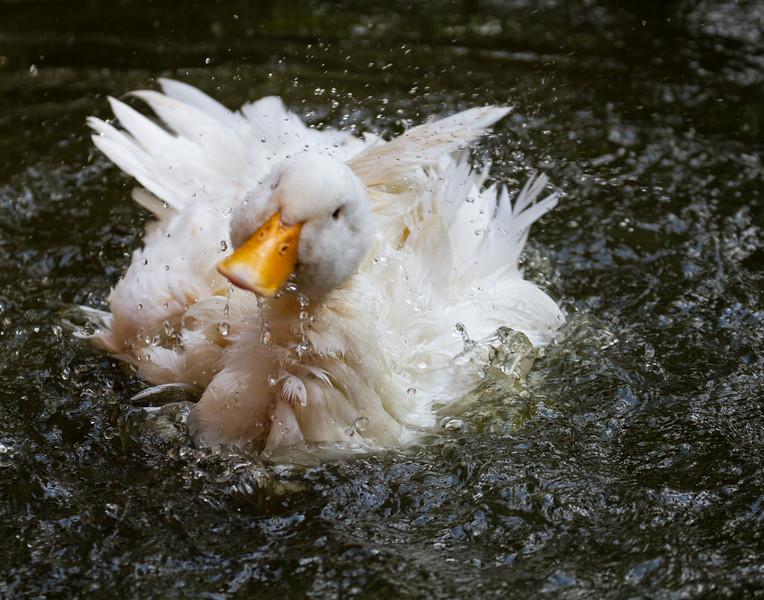 Duck Bath - 3. Kerala, India.