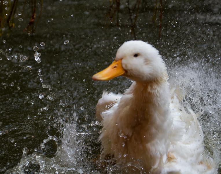 Duck Bath - 4. Kerala, India.