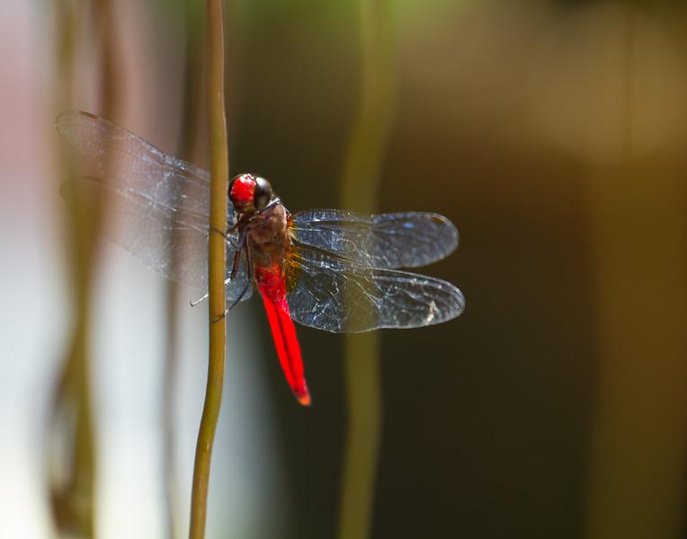 Love Dragonfly. Kerala, India.