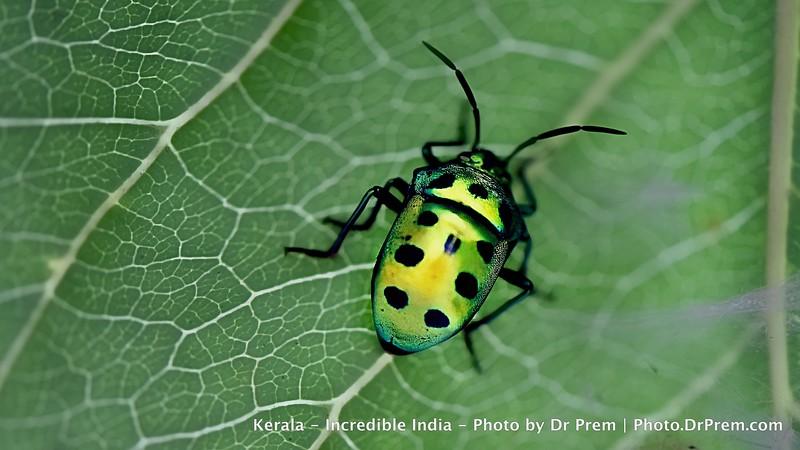A bug in Kerala by Dr Prem Jagyasi.jpg