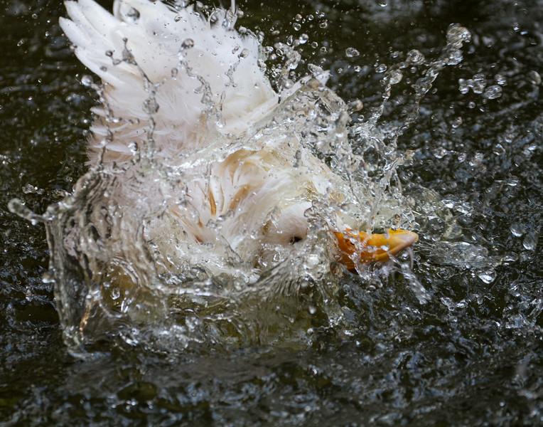 Duck Bath - 2. Kerala, India.