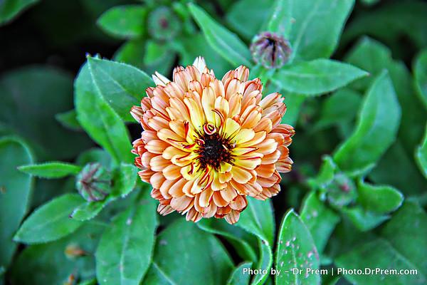 Flower in Kashmir Garden DE