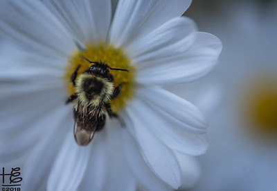 Carpenter bee on daisy